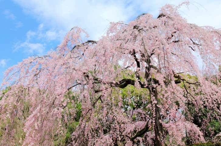 weeping cherry tree guide