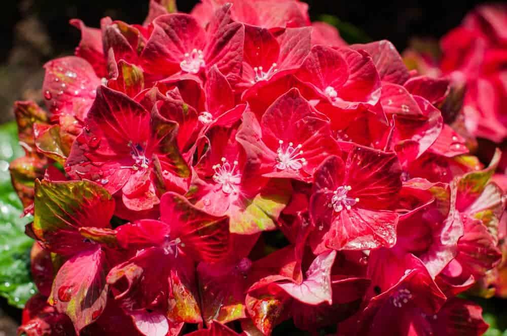 Red Hydrangea Varieties
