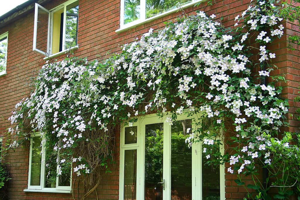 clematis above a window on brick building
