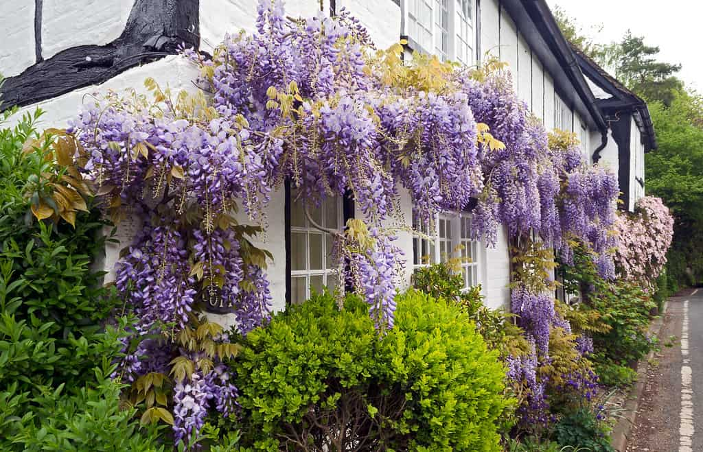 wisteria and clematis on cottage wall