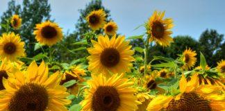 19 Types Of Sunflowers