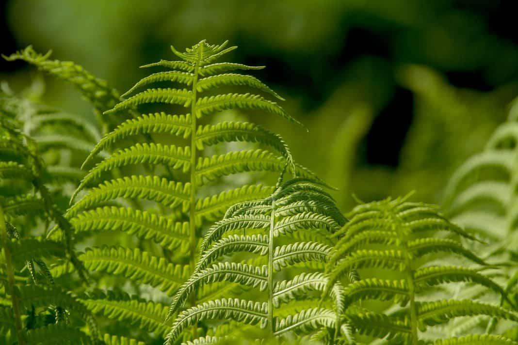 21 Types Of Fern Varieties