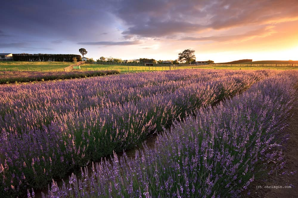 29 Types Of Lavender And How To Care For Them