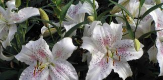 29 Unique Lilies And How To Care For Them