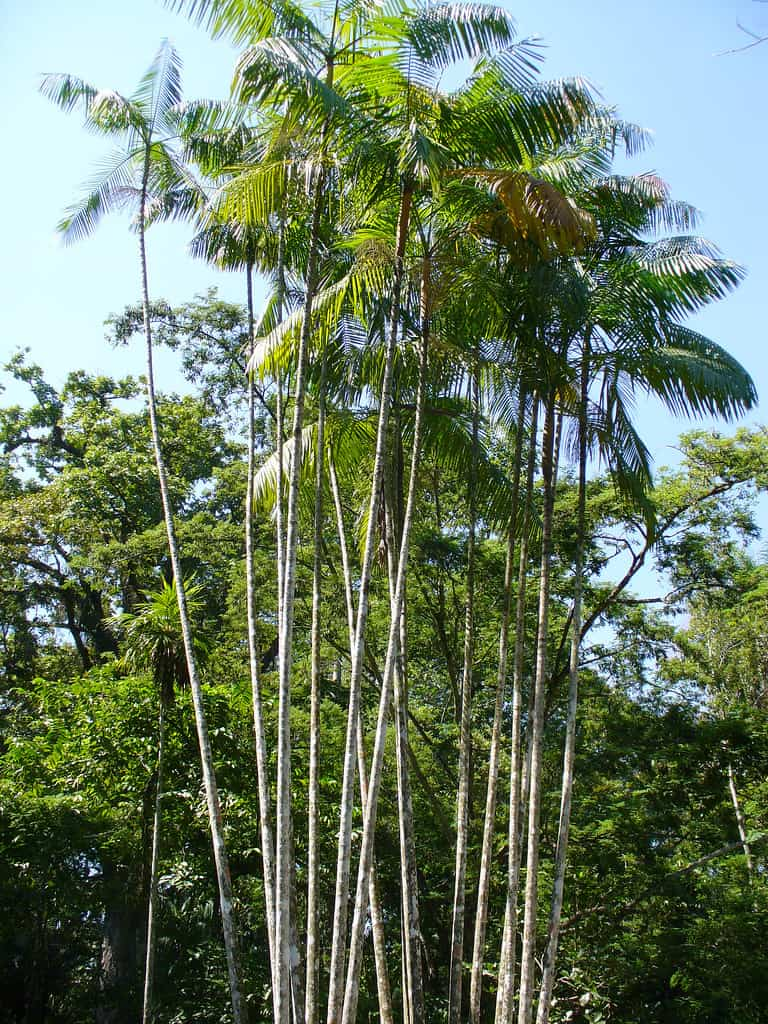 Acai (Euterpe Oleracea)
