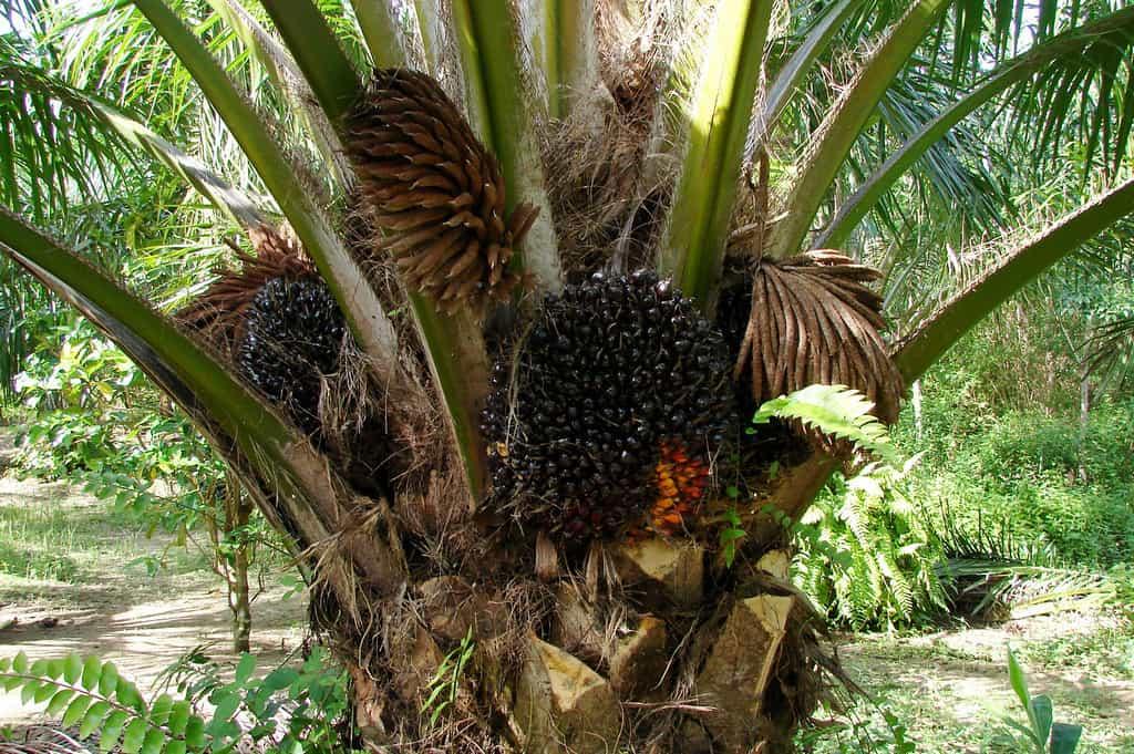 African Oil (Elaeis Guineensis)
