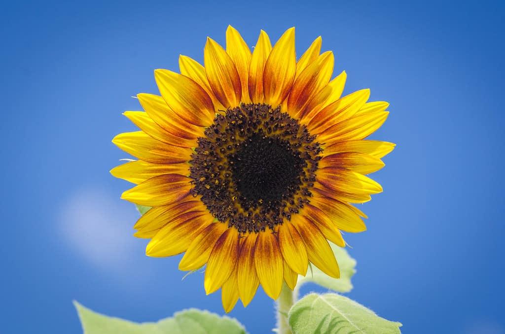 Annual sunflower (Helianthus annuus)
