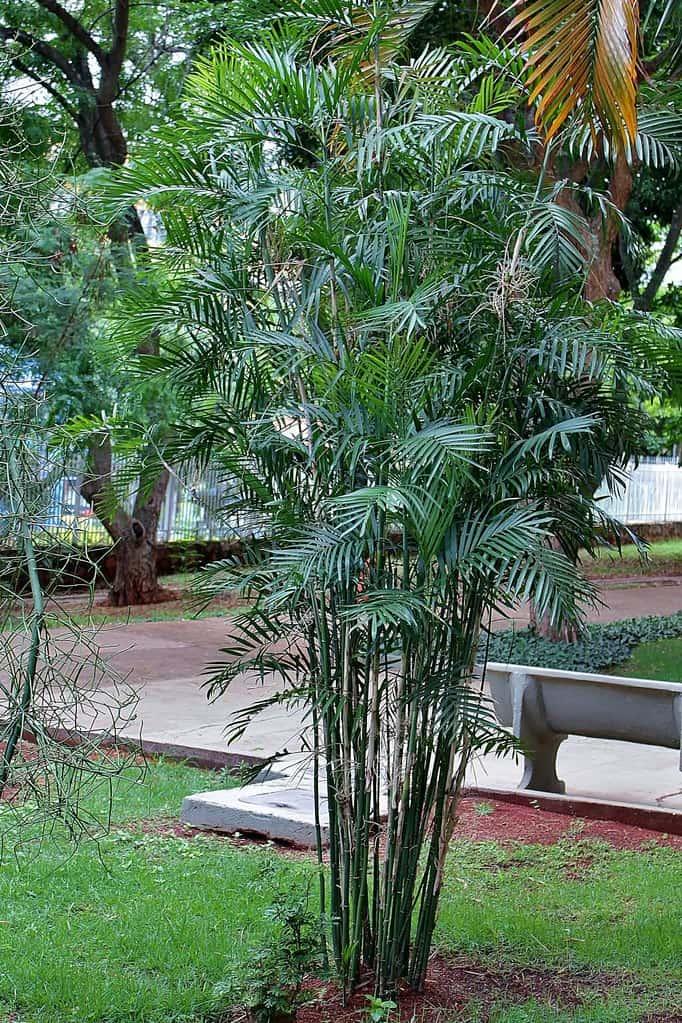 Bamboo (Chamaedorea Seifrizii)
