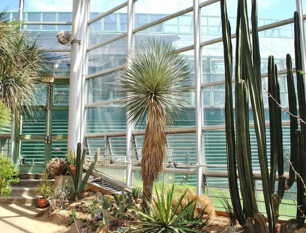 Beaked Yucca (Rostrata)