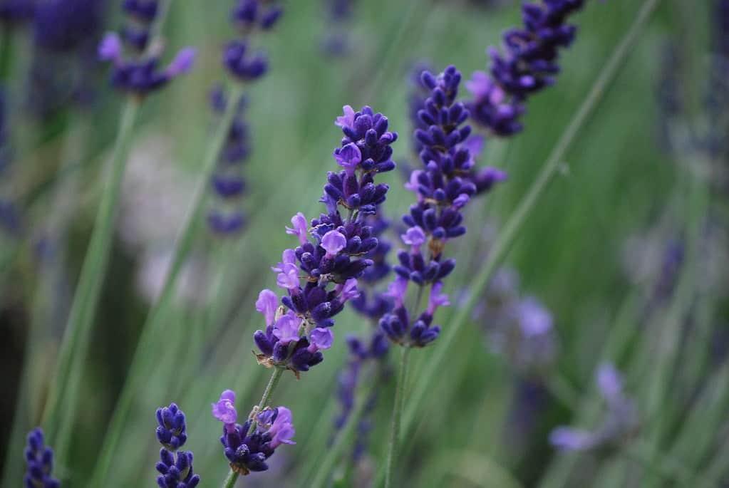 Betty's Blue, English Lavender (Lavandula Angustifolia)