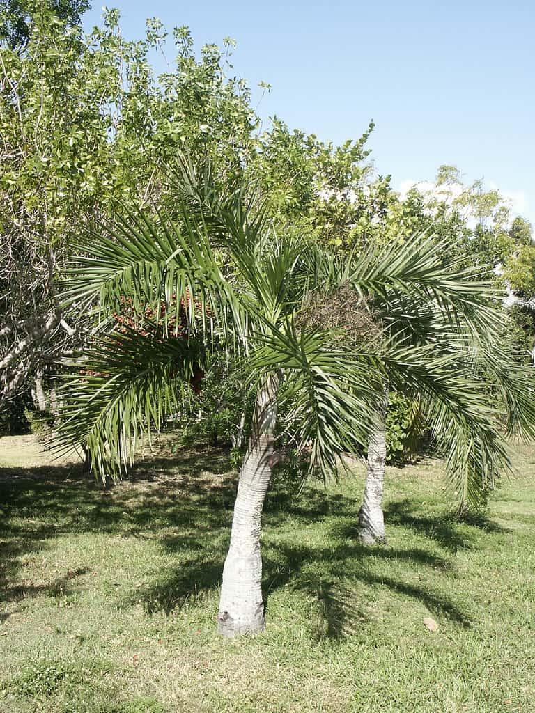 Buccaneer (Pseudophoenix Sargentii)