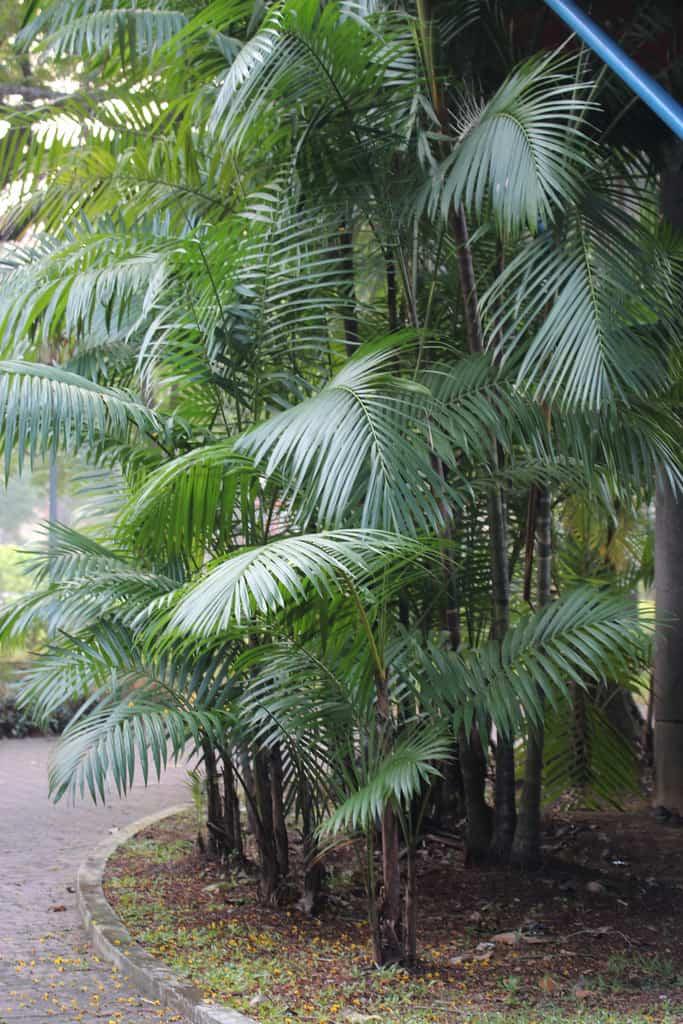 Cascade (Chamaedorea Cataractarum)