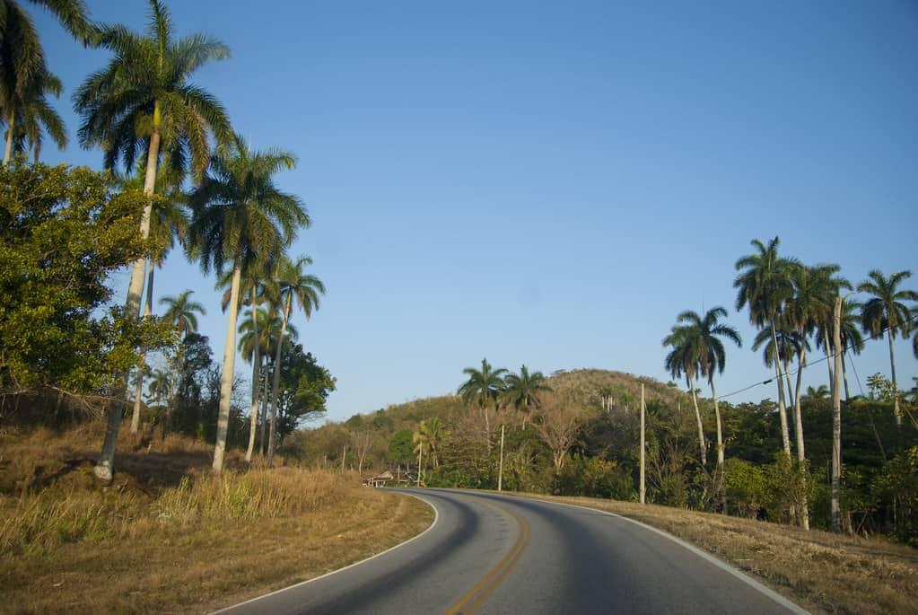 Cuban Royal (Roystonea Regia)