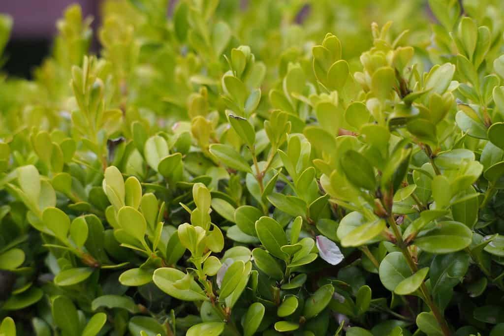 Green Gem Boxwood (Buxus microphylla var. koreana x Buxus sempervirens)