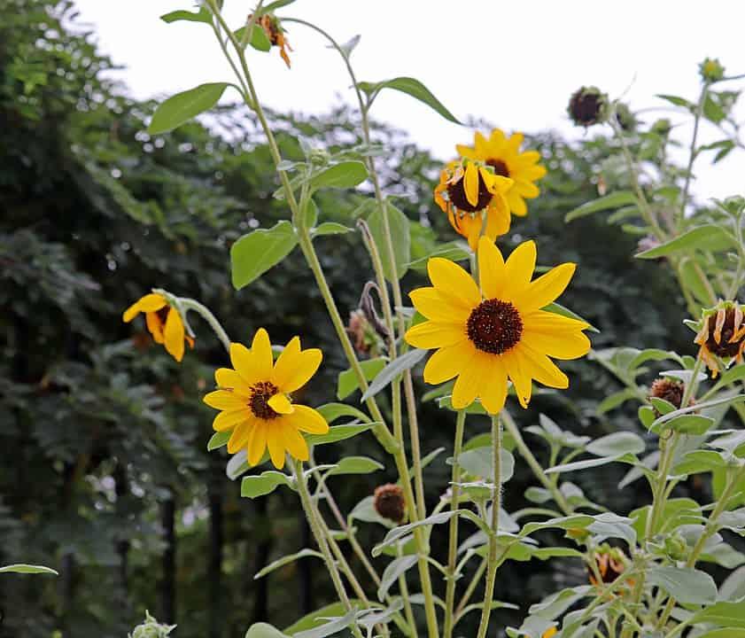 Holly sunflower (Helianthus argophyllus)