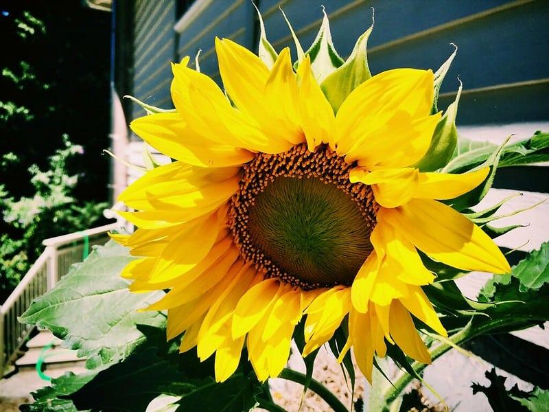 Hybrid sunflower type Jason