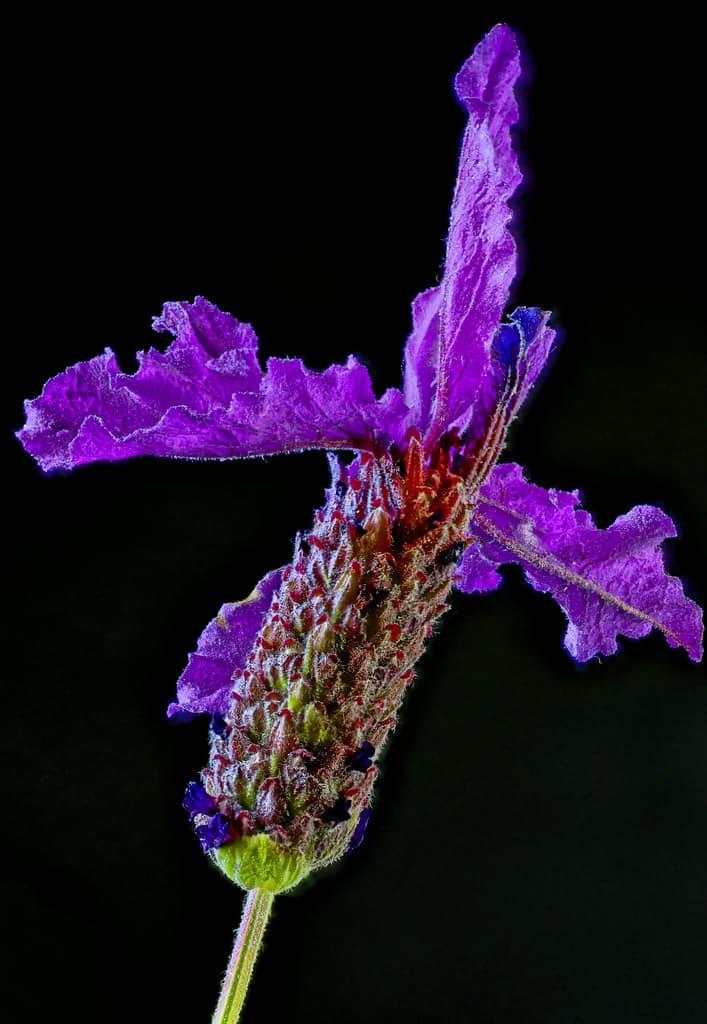 Kew Red, Spanish Lavender (Lavandula Stoechas)
