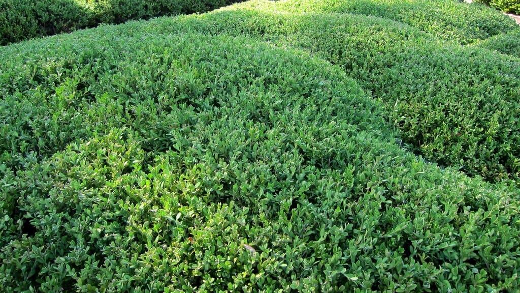 Korean Boxwood (Buxus microphylla)