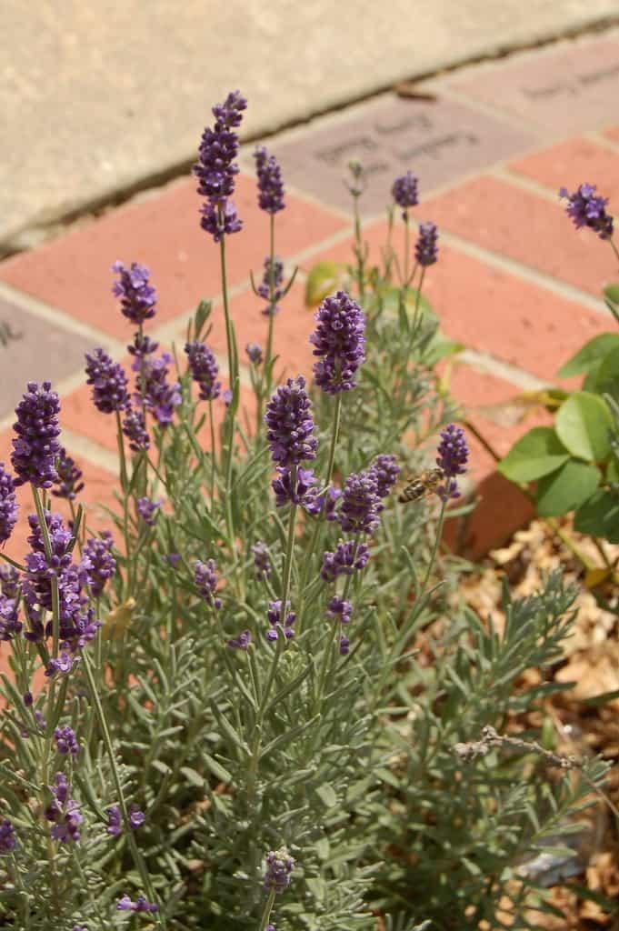 Lavenite Petite, English Lavender (Lavandula Angustifolia)