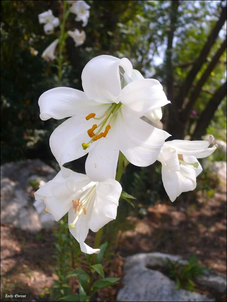 Lilium 'bright star', Lily 'Bright Star'