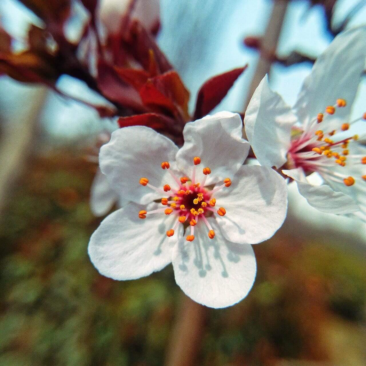 Lily 'cherrywood'