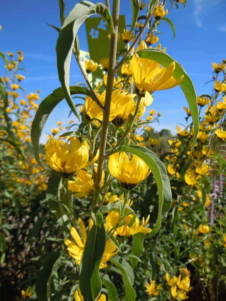Maximilian sunflower(Helianthus maximiliani)