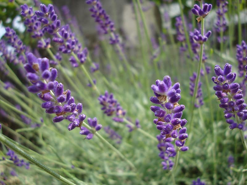 Nana Alba lavender