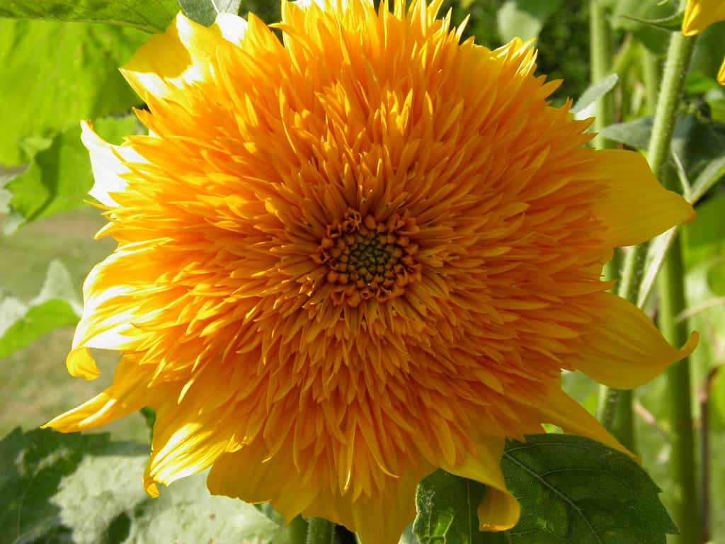 Nut sunflower