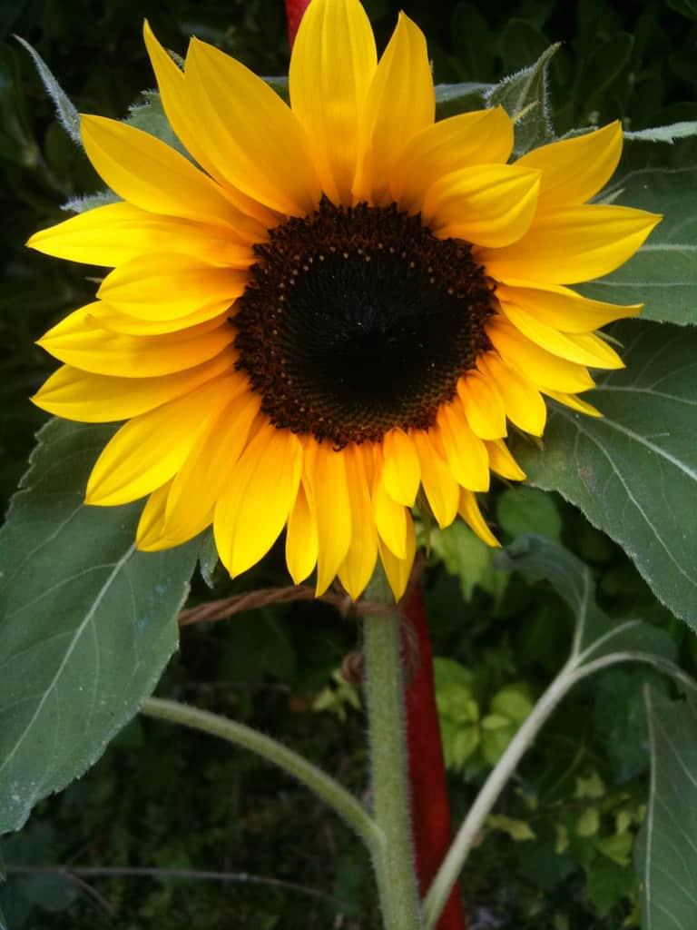 Oliver sunflower