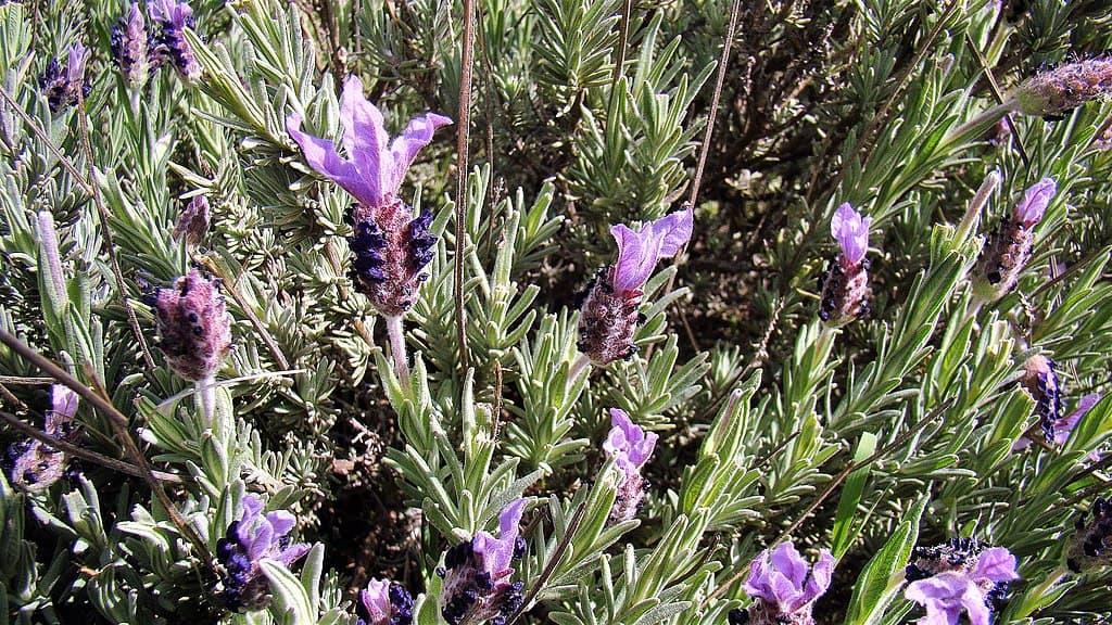 Pedunculata Lavender (Lavandula Pedunculata)