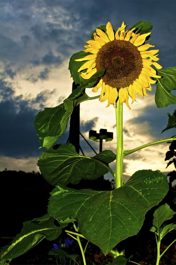 Prometheus sunflower