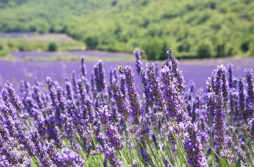 Provence (Lavandula X Intermedia)