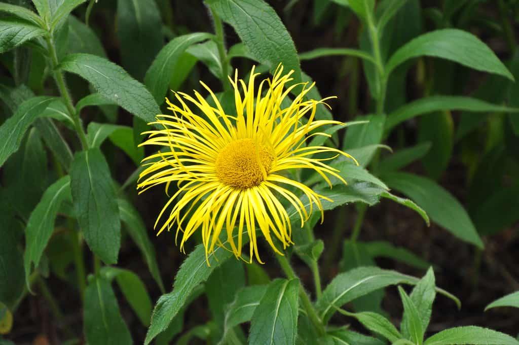 Red-stemmed sunflower(Helianthus atrorubens)