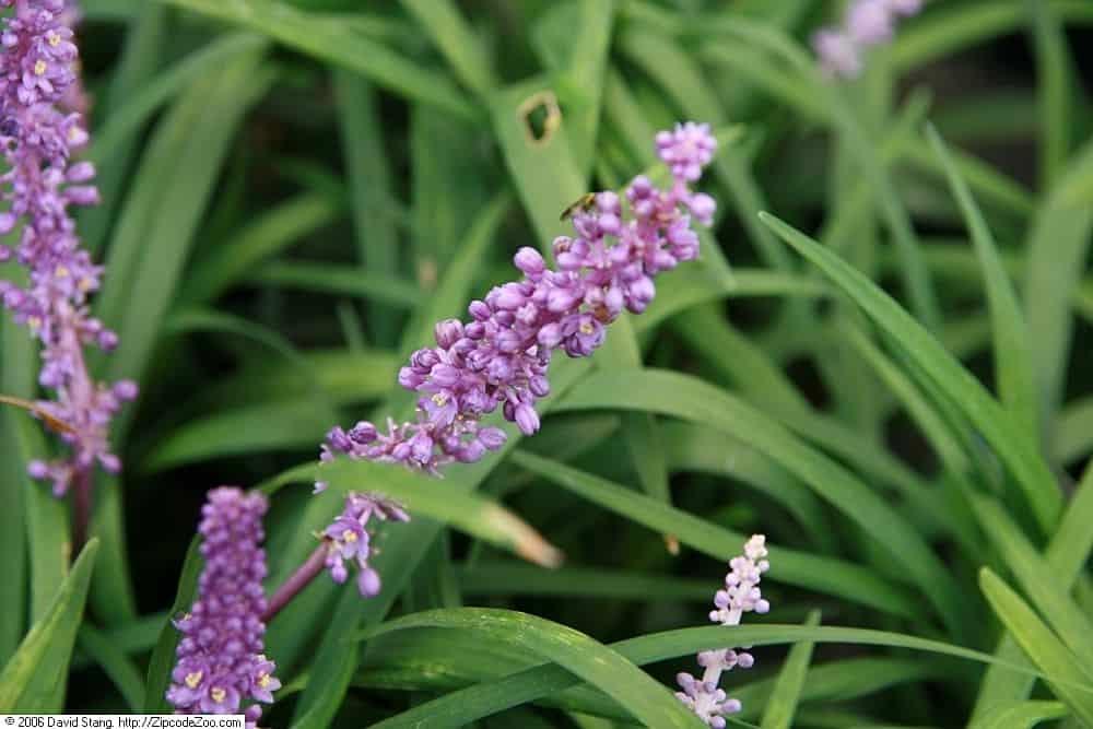 Royal Purple (Lavandula Angustifolia)