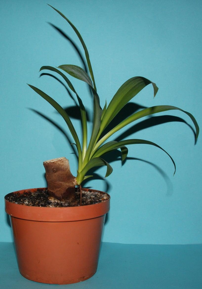 Spineless Yucca (Elephantipes Yucca)