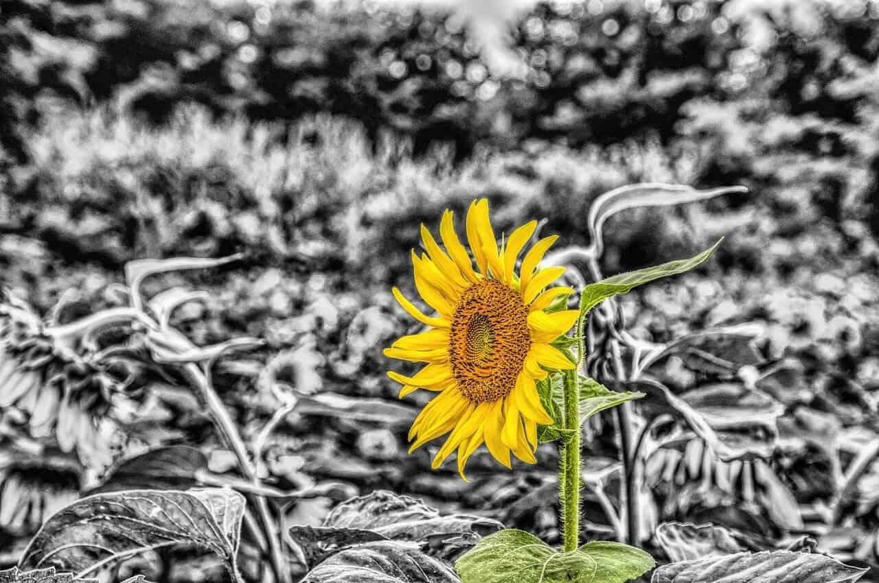 """Sunflower variety """"Rimisol"""""""