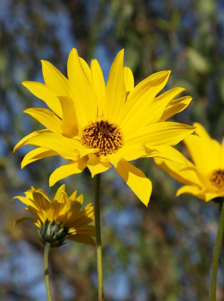 Tuberous sunflower(Helianthus Tuberosus)