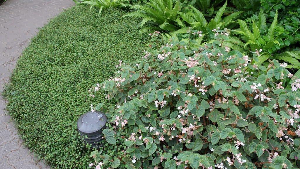 Wire Fern Muehlenbeckia Axillaris