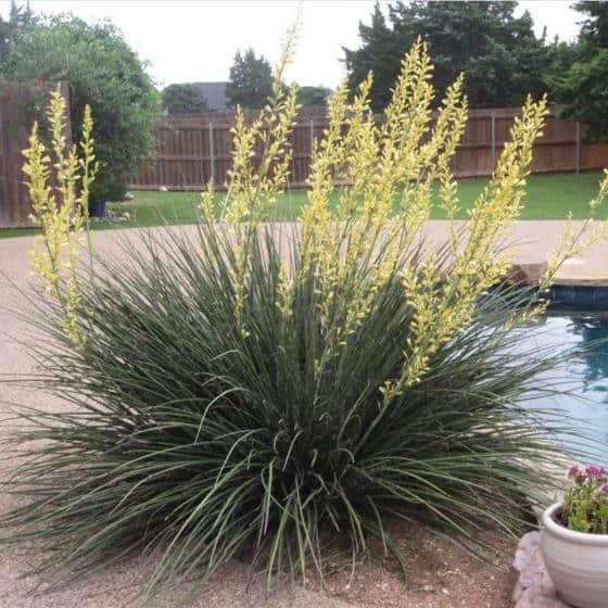 Yellow Yucca (Hesperaloe Parviflora)