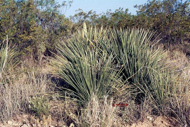 Yucca constricta