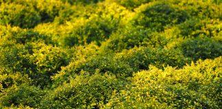 boxwood shrub types