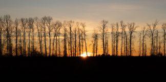 13 Birch Trees Varieties