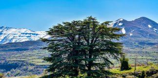 13 Types Of Cedar Trees