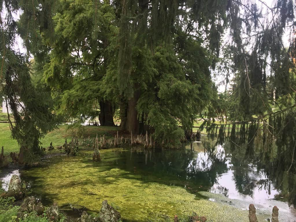 13 Types of Cypress Trees