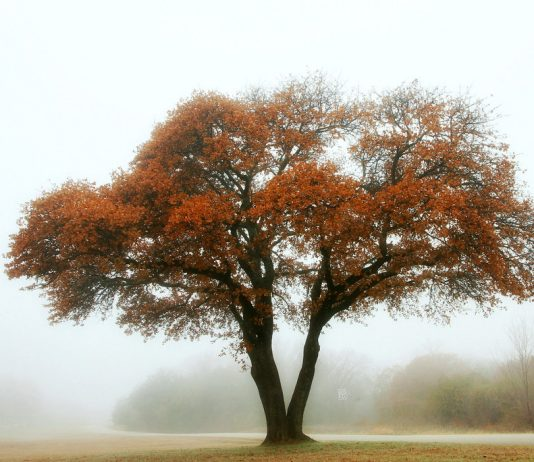 21 Common Types of Oak Trees (Quercus)