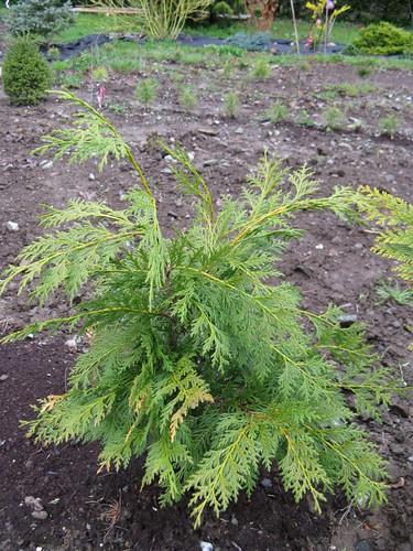 Alaskan Yellow Cedar (Palicourea Croceoides)