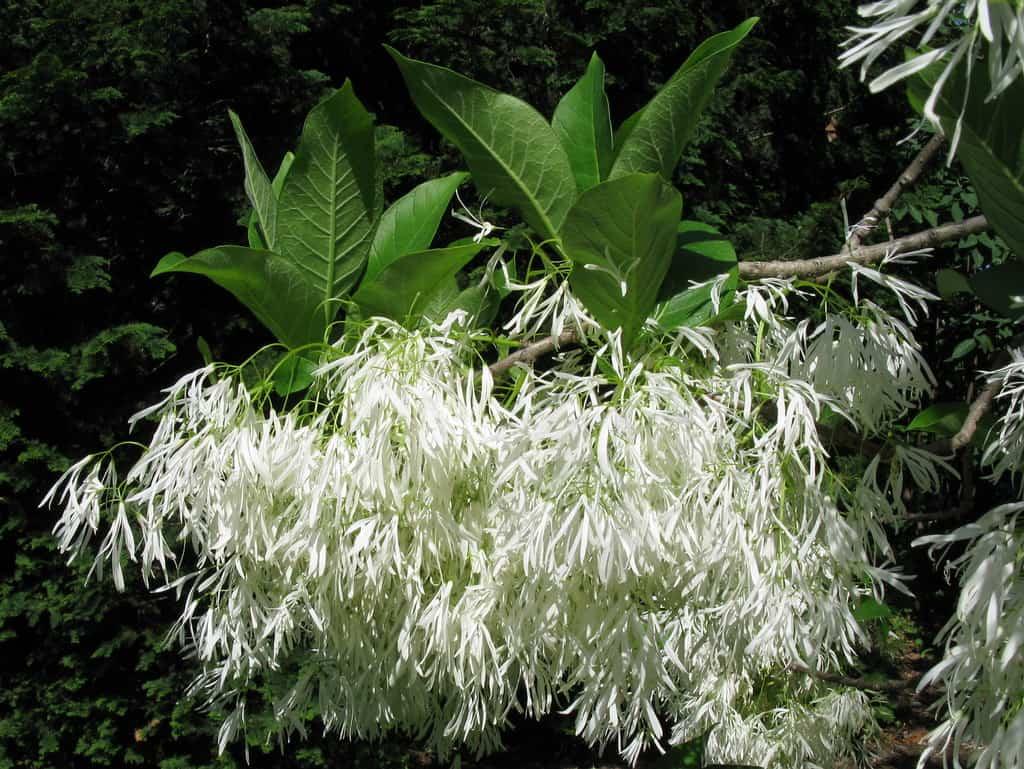American Fringe White Flowering Trees (Chionanthus virginicus)
