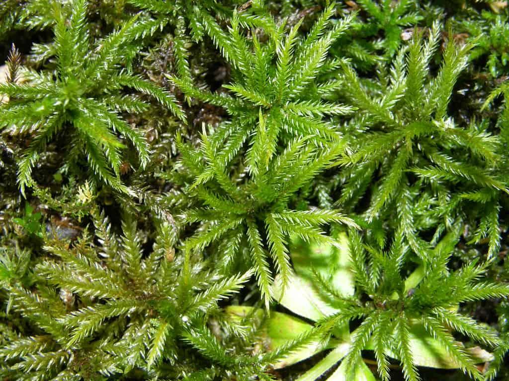 American Tree (Climacium americanum)
