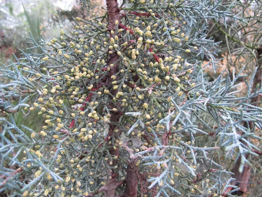 Arizona Cypress (Cupressus Arizonica)
