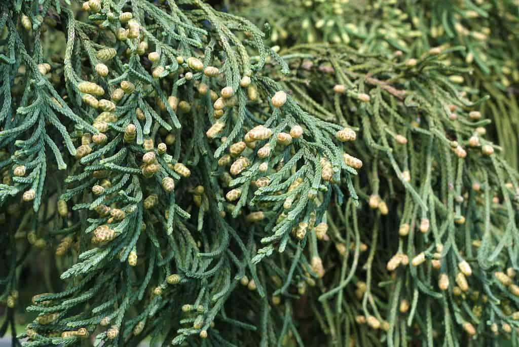 Bermuda Cedar (Juniperus Bermudiana)